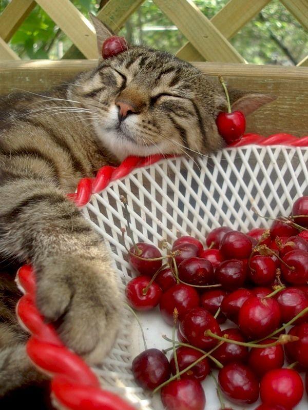 Растут ли ягодки в виллах? Галлы искали ответ... 3